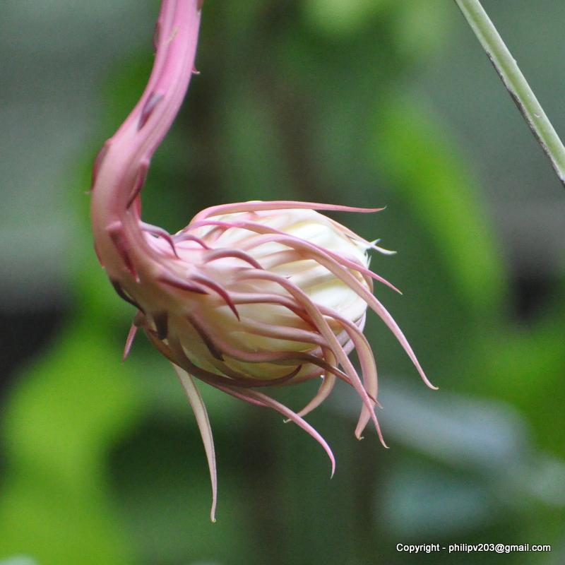 Ceroid cacti search