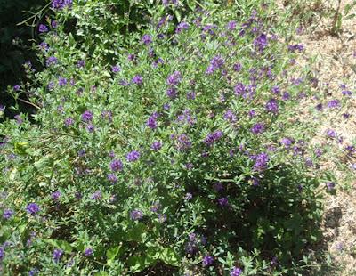 alfalfa en flor