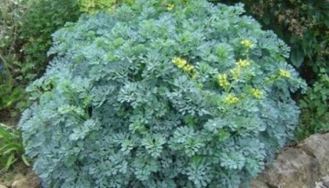 το φυτό που διώχνει τη γρουσουζιά