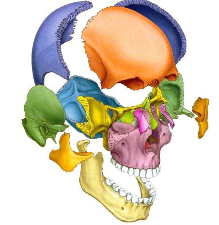 Osteología Cabeza y Cuello - Kinesiología para Estudiantes