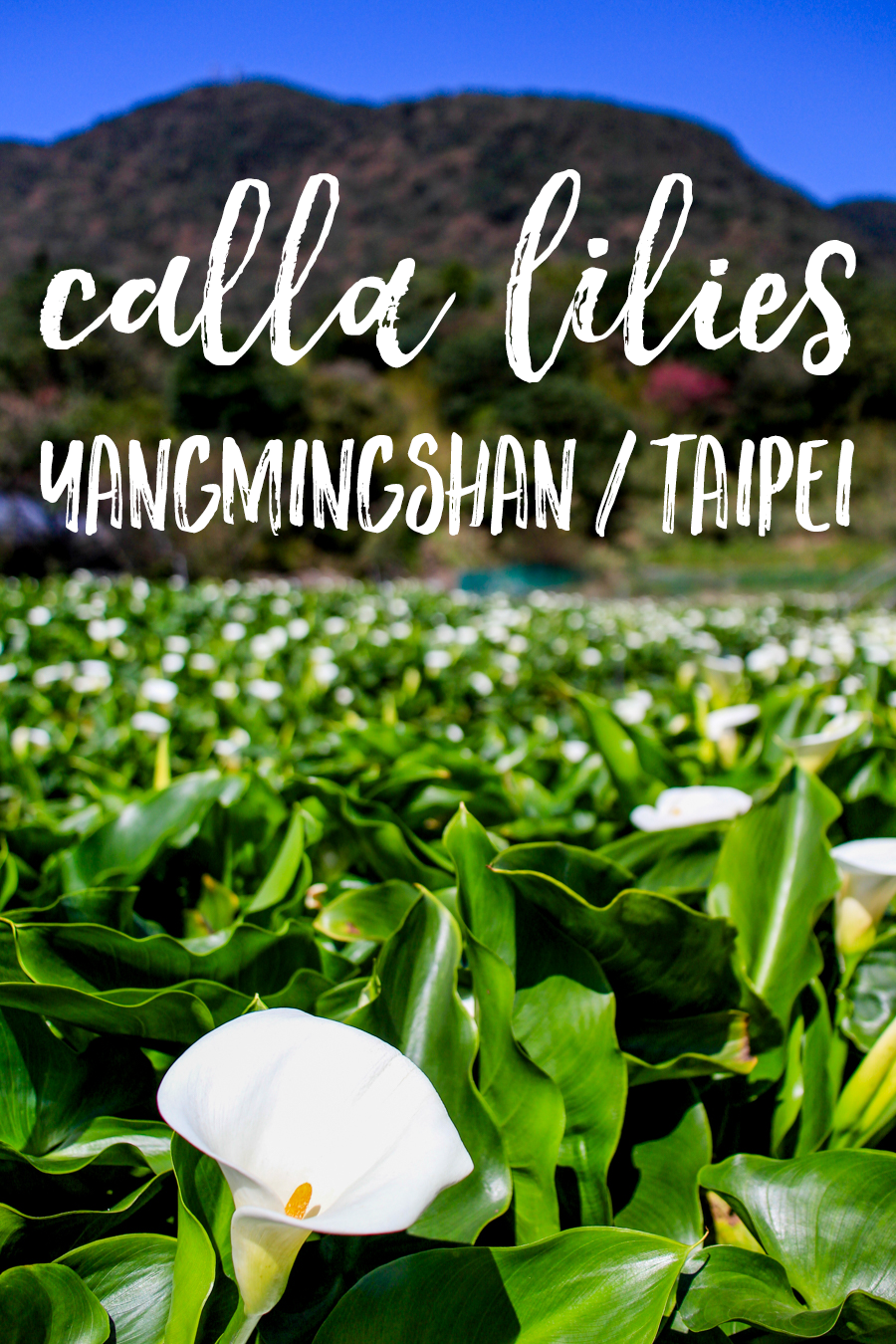 nestled between the mountains of Yangmingshan National Park just outside Taipei, the small village of Zhuzihu is where visitors can go to view endless fields of calla lilies in spring.