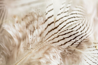A close up detail of a zebra striped feather, taken in home studio, Cedar Park, Texas