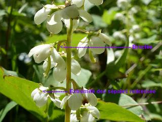 Pyrole d'Amérique - Pyrola americana - Pyrole à feuilles rondes