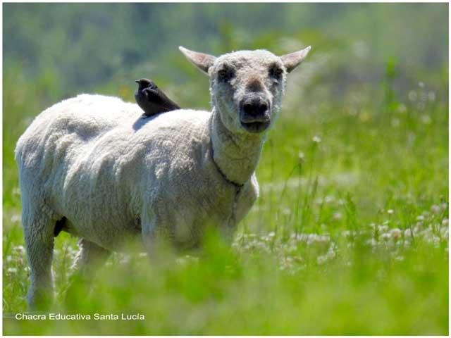 Tordo posado en una oveja - Chacra Educativa Santa Lucía