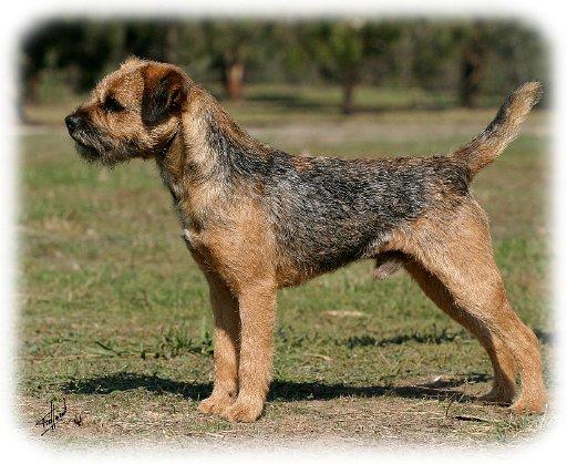 about dog border terrier basics of border terrier training