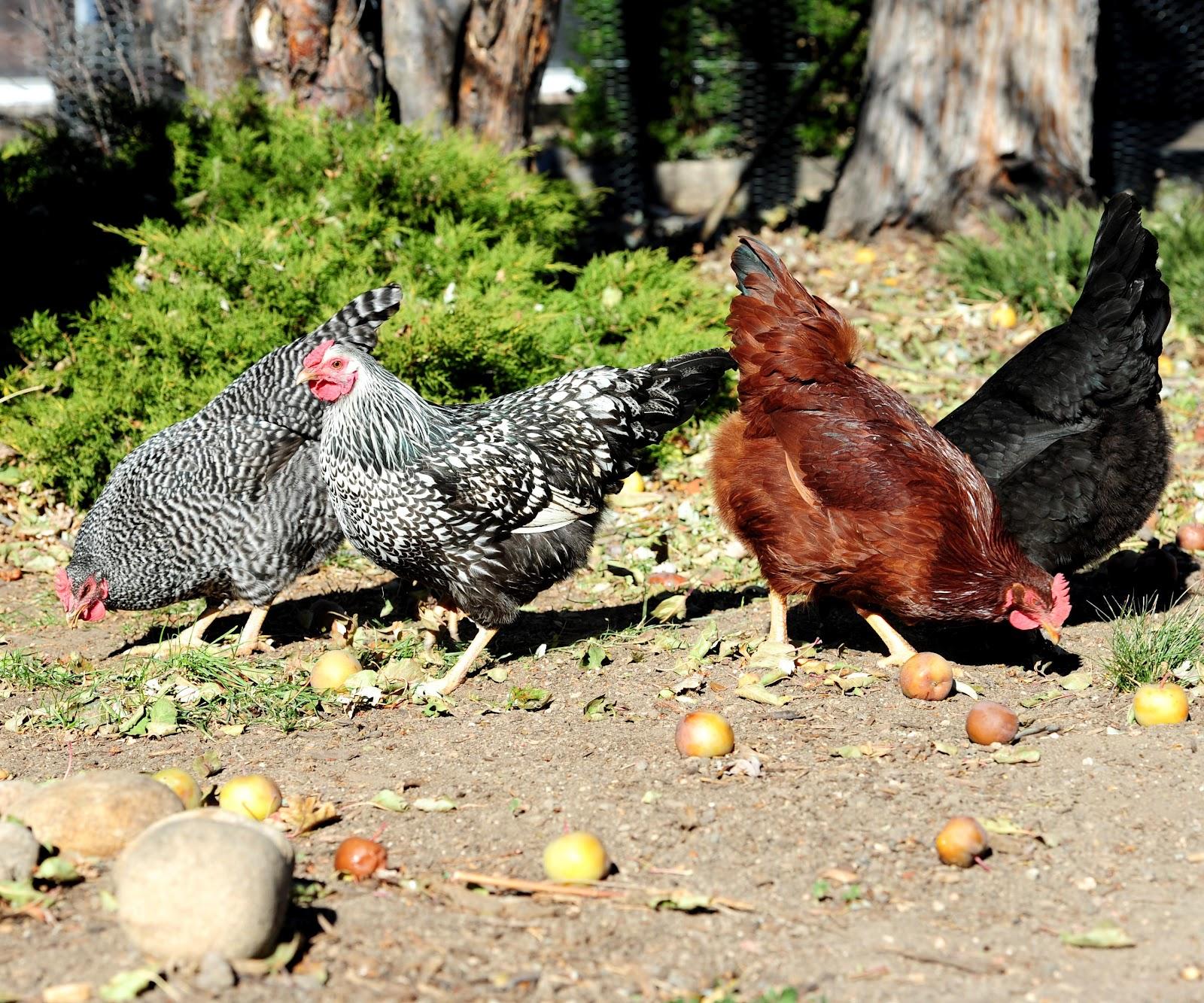 JeffCo Gardener: Caring for Backyard Chickens by Elizabeth ...