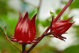 Bunga Rosella Dan Keuntungannya Untuk Kesehatan
