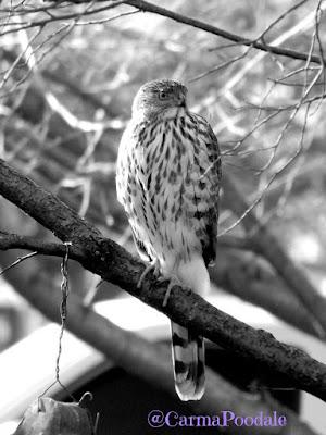 Hawk sitting on a tree limb