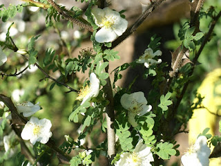 Rosier du Mont Emei - Rosa omeiensis - Rosa sericea subsp. omeiensis