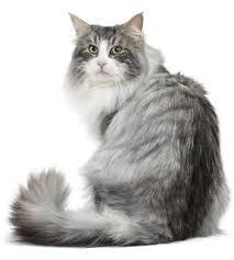 Kucing Aphrodite dan Karakteristiknya