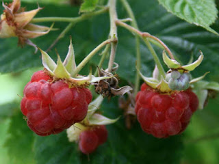 american red raspberry fruit images