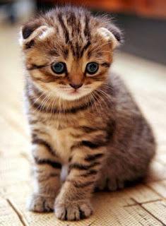 gambar kucing Scotish fold