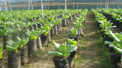 Mengenal Budidaya Tembakau Di Indonesia