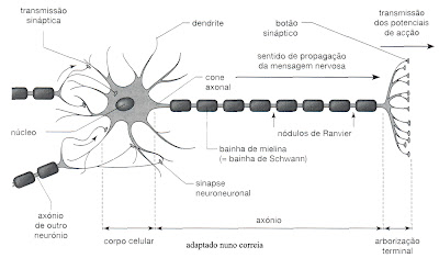 Ciências da Vida e da Terra: Neurónio