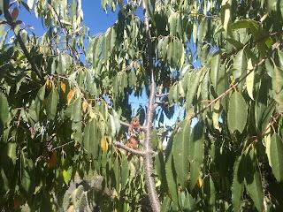Prunus serotina, Capulín