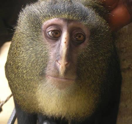 monyet jenis baru lesula asal kongo