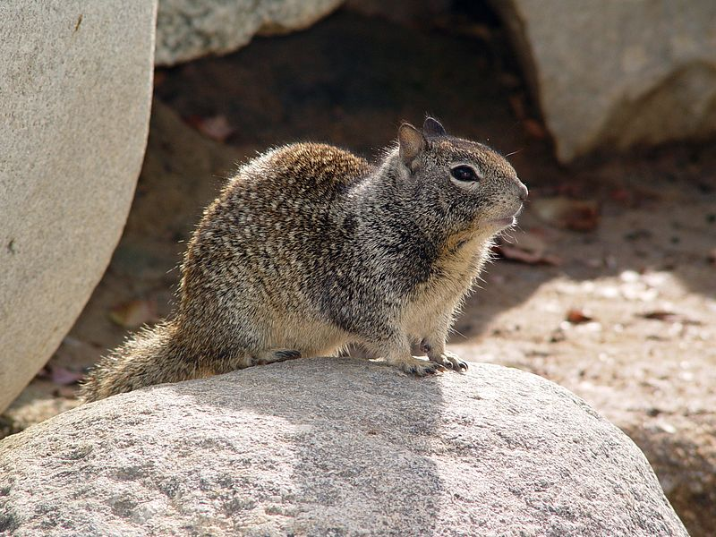 Mammals Animals: CA Ground Squirrel on rock
