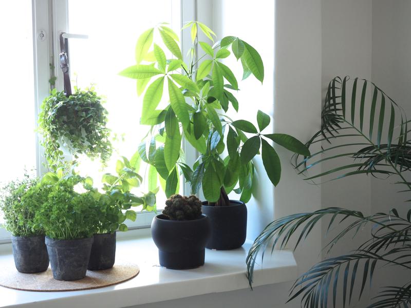 viherkasvit ikkunalaudalla