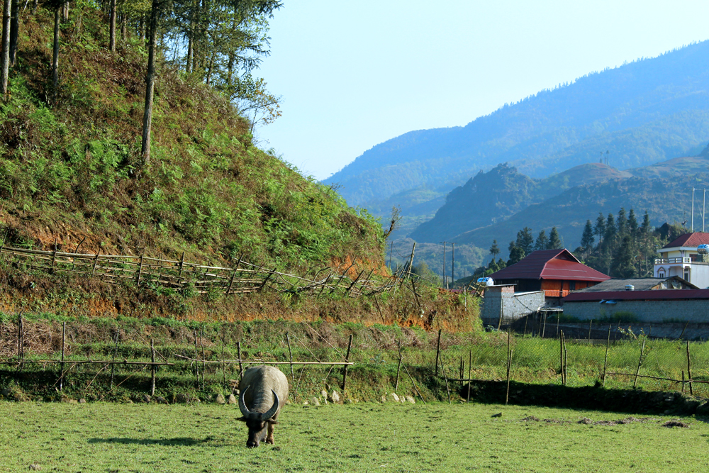 Water buffalo in Sapa, Vietnam - travel blog