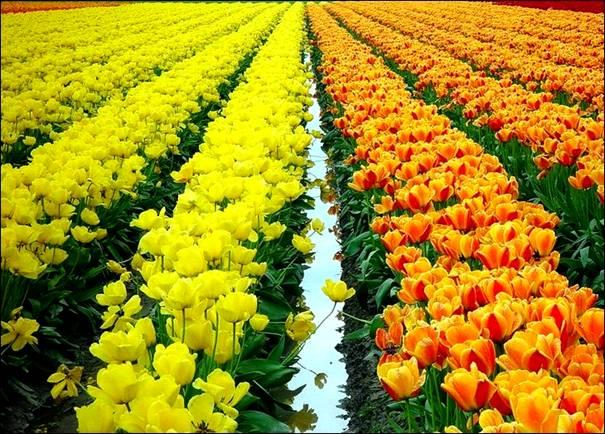 مزارع الزهور image045-781581.jpg