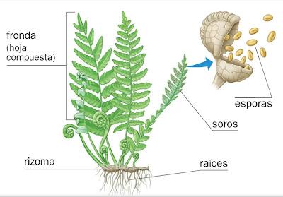 Reproduccion asexual por esporulacion en helechos