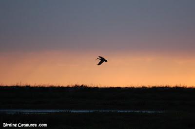 Pato volando al amanecer