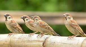 suara burung gereja tarung, burung gereja tarung, burung gereja, suara gereja, suara gereja tarung, gereja tarung