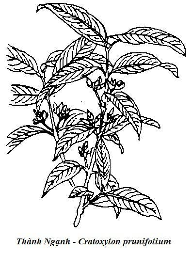 Hình vẽ Thành Ngạnh - Cratoxylon prunifolium - Nguyên liệu làm thuốc Chữa Bệnh Tiêu Hóa