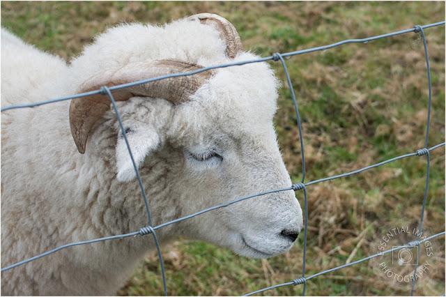 white sheep with horns