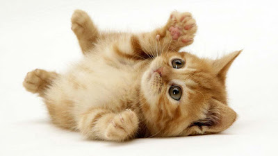 playing-baby-caty-kitten-wallpapers