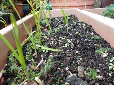 Garlic shoots Garden Look to the future #mygardenrightnow Green Fingered Blog