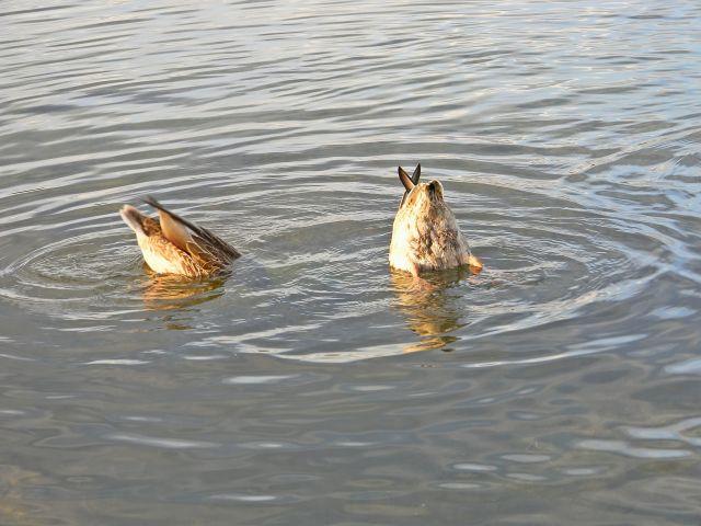 ptaki wodne, jezioro, nurkowanie, Niesłysz