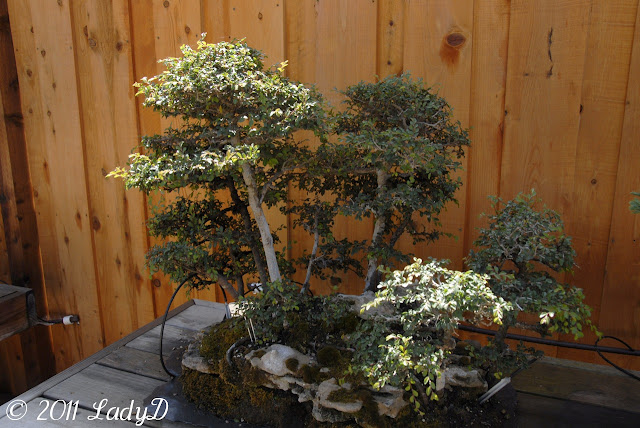 Bonsai Plant: LadyD Books
