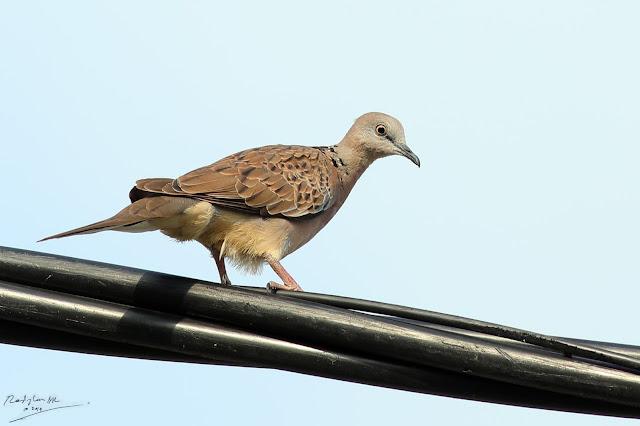 Terkukur, Birding during Eid-Adha Holiday