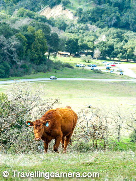 We came across various groups of healthy cows on Sunol hiking trail and it seemed like there are some ranches around the place. All of these cows were tagged, so certainly they belonged to some ranch. Above photograph was clicked when we were almost close to the gate, while descending.