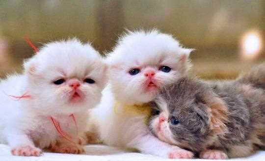 Penyebab Kematian Bayi Kucing Persia - KuPersia