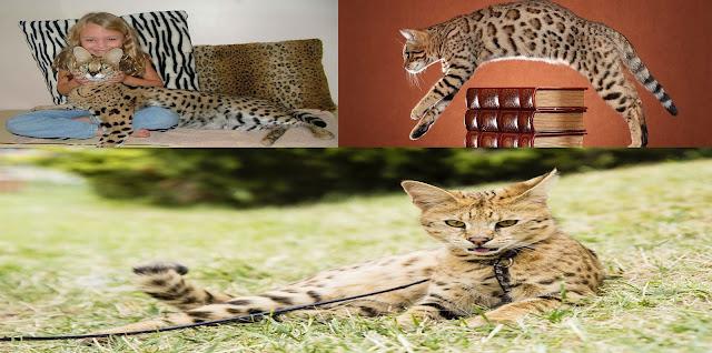 3 Ras Kucing Termahal di Dunia
