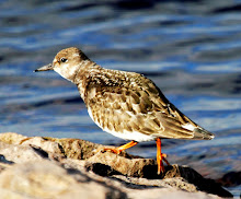 Fly Flatts Turnstone