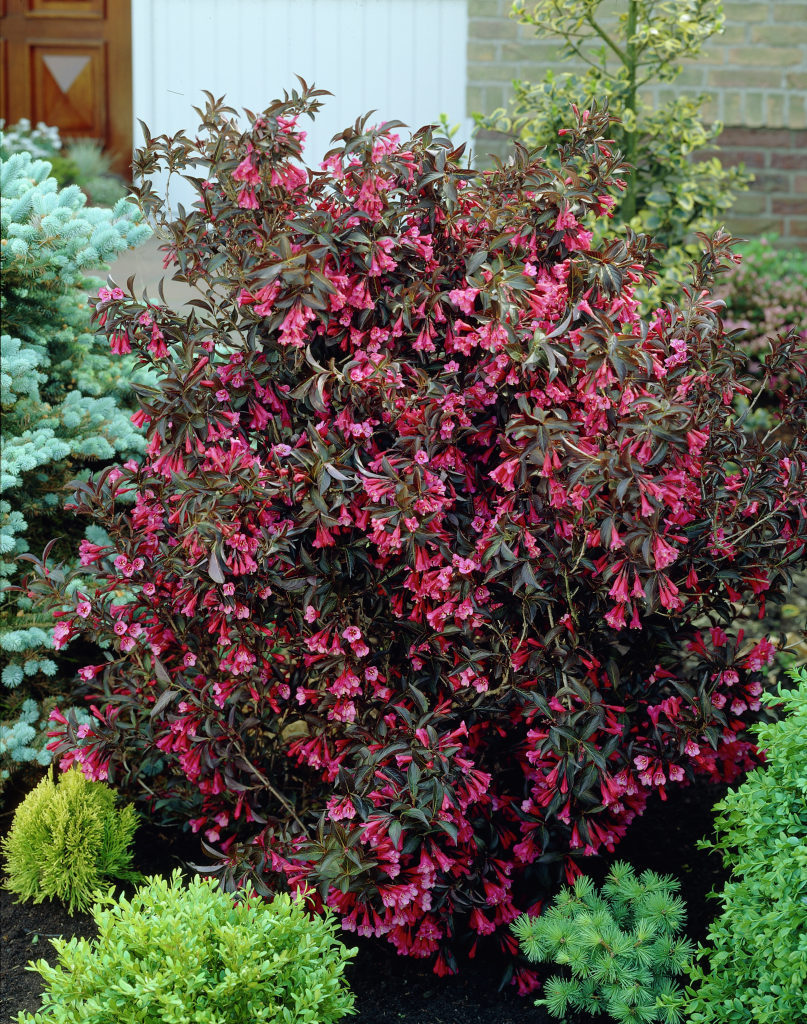 Purple Plum Bush