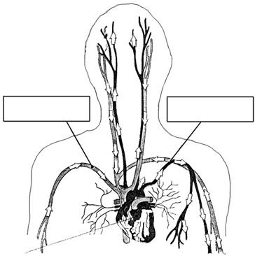 Sistema Circulatorio Para Colorear Con Sus Partes