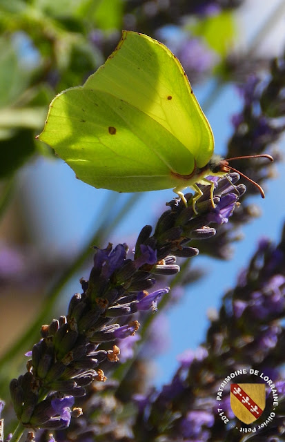 Papillon Citron (Gonepteryx rhamni)