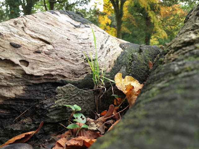 Plants and grass growing amoungst fallen leaves in on old, felled tree trunk.