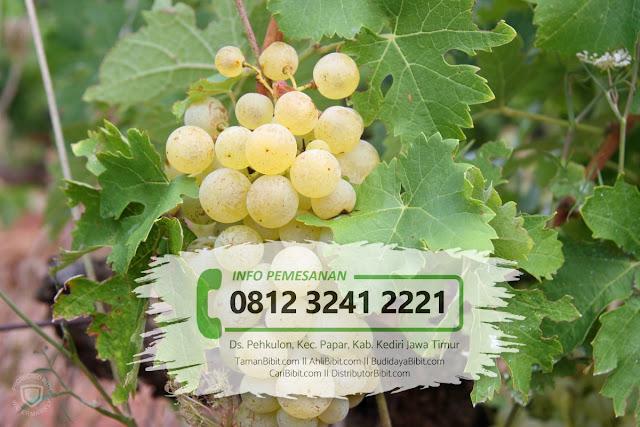 Jual Bibit Buah Anggur Yellow Belgia