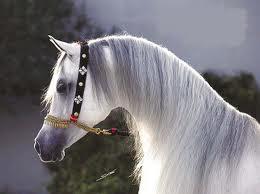 كرتون حصان عربي