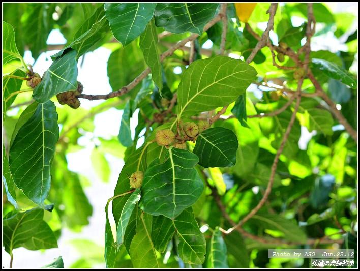 花蓮高農 植物園區: 稜果榕