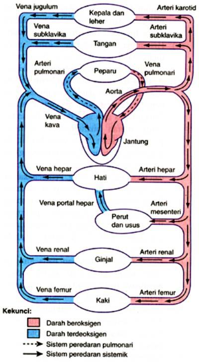 Urutan Peredaran Darah Kecil Dan Besar : urutan, peredaran, darah, kecil, besar, Urutan, Peredaran, Darah, Besar, Kecil, Artikel, Lengkap, Kampung, Motivasi,, Motivasi, Belajar, Materi, Pelajaran