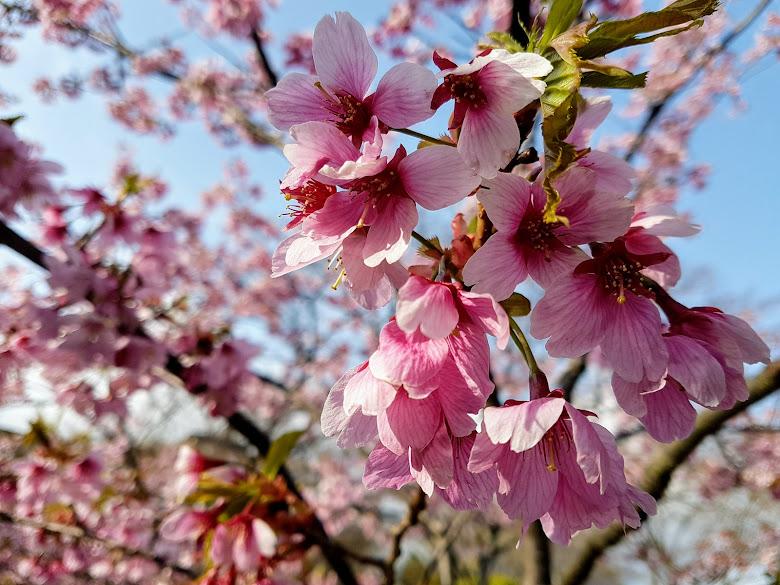 公園內的早開櫻花