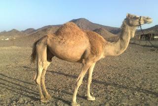 أجمل صور جمل أجمل  صور ناقة أروع صور جمل Camel