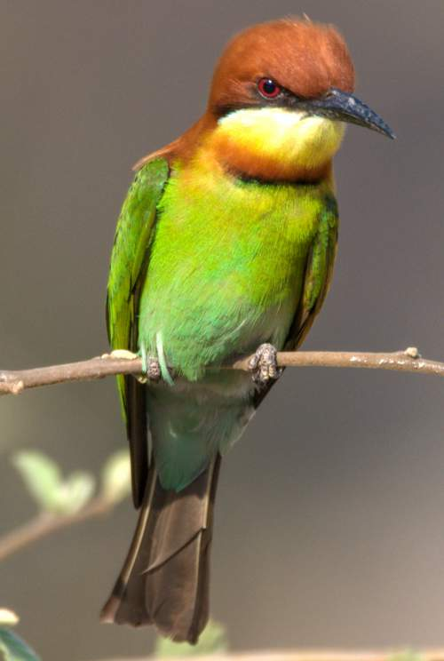Indian birds - Picture of  Chestnut-headed bee-eater - Merops leschenaulti