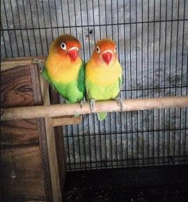 Cara Cepat Meningkatkan Birahi Burung Lovebird Yang Paling Akurat